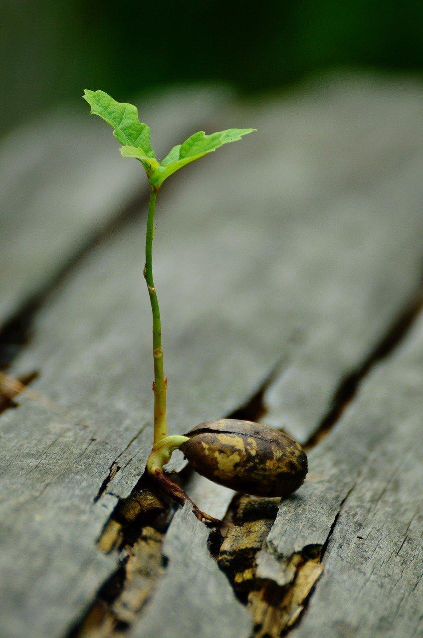 germ, seedling, oak